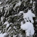 Fotos de Laponia Finlandesa, nieve en los abetos