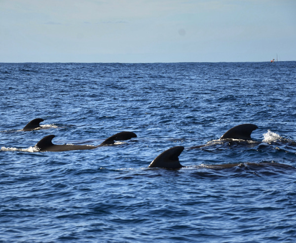 Fotos de Tenerife, excursion para ver ballenas